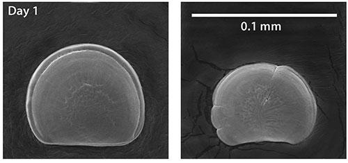 ocean_acidification_oyster_larvae